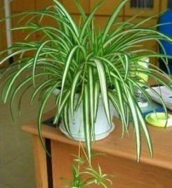 绿植/银边吊兰