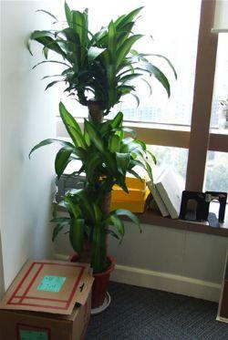 �G植/巴西木