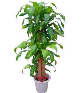 绿植/巴西木