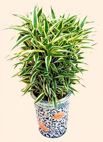 绿植/黄金竹