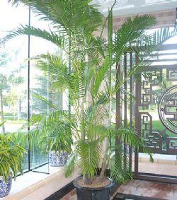 绿植/散尾葵