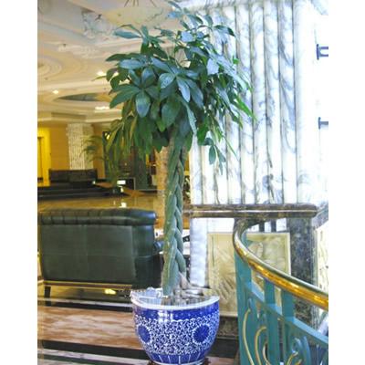 绿植/发财树