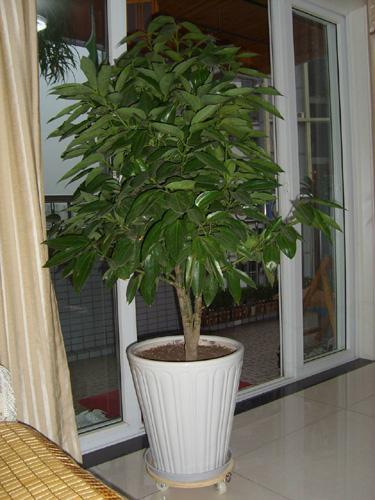 绿植/平安树