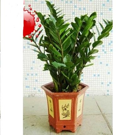 盆栽绿植花卉/金钱树