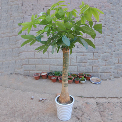 盆栽绿植花卉/招财摇钱树