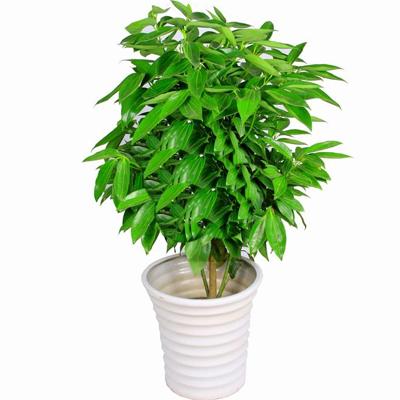 盆栽绿植花卉/元宝摇钱树