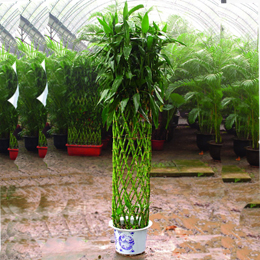 盆栽绿植花卉/富贵竹篮
