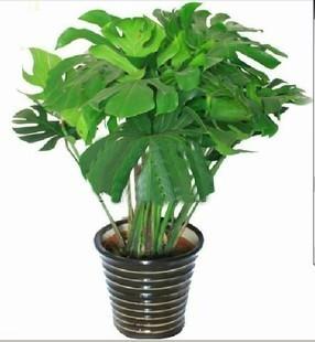 盆栽绿植花卉/龟背竹