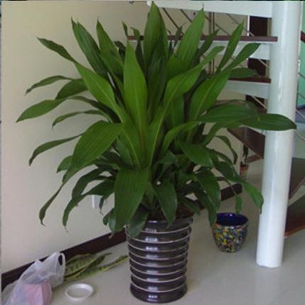 盆栽绿植花卉/长沙也门铁